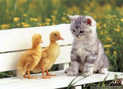 Ducks and a kitten